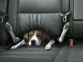 Pes v avtu in potovalna slabost