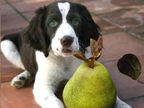 Katero sadje lahko jedo psi?