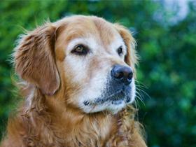 Siva pasja dlaka in zakaj pes (o)sivi