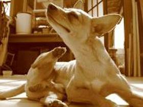 Okužba psa z bolhami, klopi, komarji,…