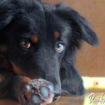 Učenje pasje hišne čistoče