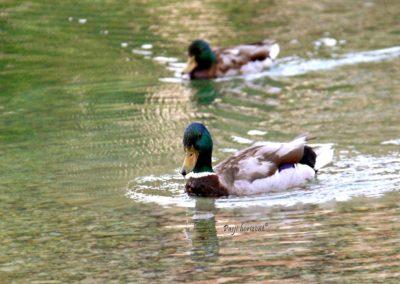 Jezero Jasna, račke