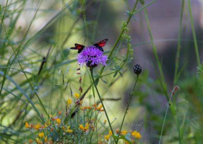 Log pod Mangartom, metulji