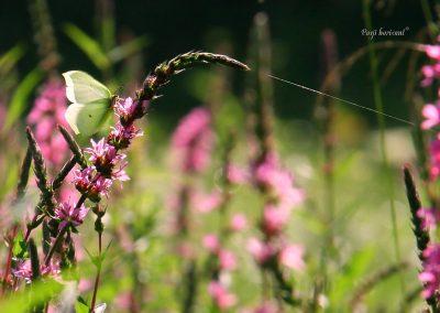 Gradiško jezero; metulj