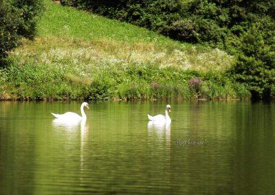 Gradiško jezero; labodi na jezeru