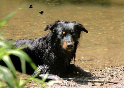 Pasji horizont, Gradiško jezero, pes se hladi v vodi