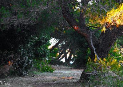 Premantura, sprehod med borovci