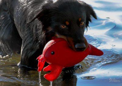 Pasji horizont, Premantura, moker pes z igračo