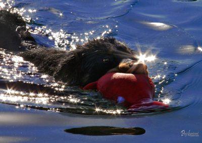 Pasji horizont, Premantura, pes plava z igračo