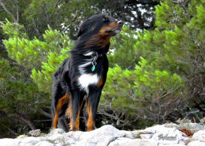 Pasji horizont, Premantura, pes na burji