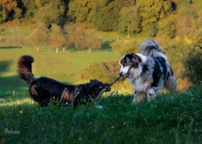 Pod vasjo Rašica, pasja igra