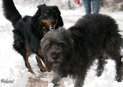 Pasji horizont; pasji snežni pogled v kamero