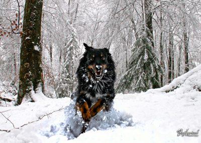 Pasji horizont; pes v teku po snegu