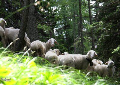 Trupejevo poldne, ovce