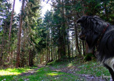 Vrh Svetih Treh Kraljev, smrekov gozd