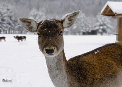 Sračja dolina, srna, zima in sneg