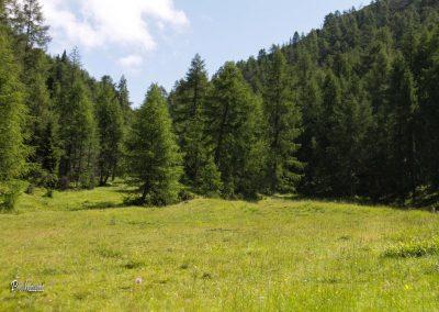 Trupejevo poldne, macesnov gozd