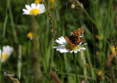 Jamnik, marjetice, metulj