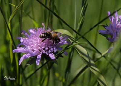 Jamnik, njivsko grabljišče, čebela