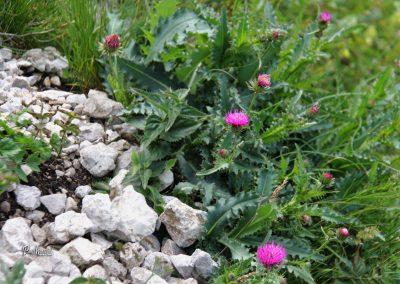 Olševa, rožce na travniku